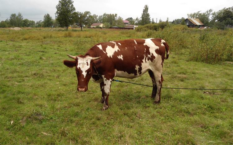 Айрширская корова