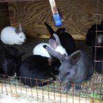 Кролиководство как бизнес: плюсы, минусы и особенности