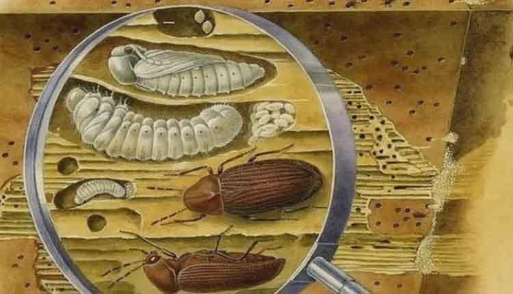 Жуки в коре