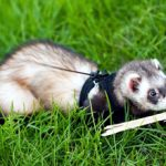 Хорьки как домашние животные: плюсы, минусы и особенности