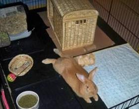 Кролик в квартире