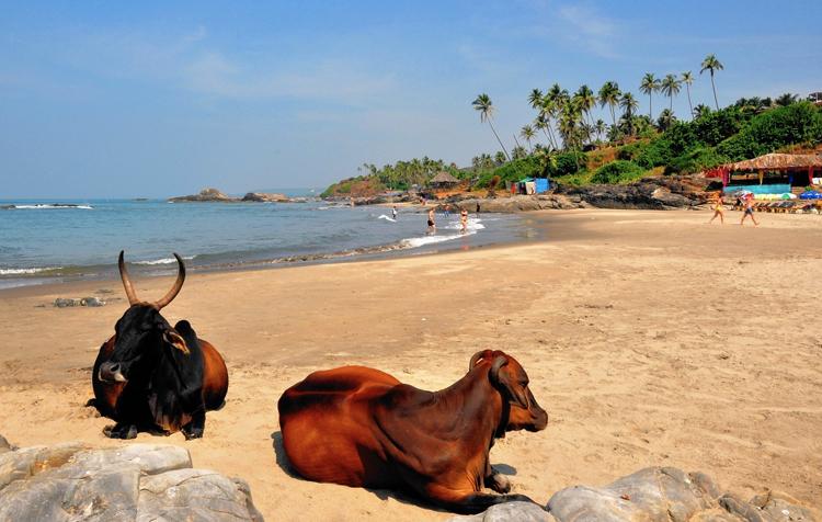 Коровы в ГОА