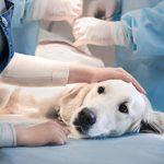 Плюсы, минусы и особенности стерилизации собак