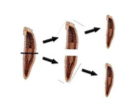 Плюсы, минусы и особенности бесполого размножения