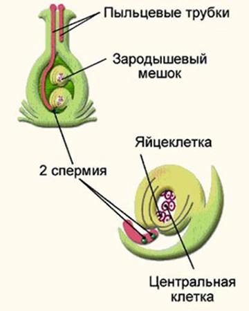 Двойное оплодотворение