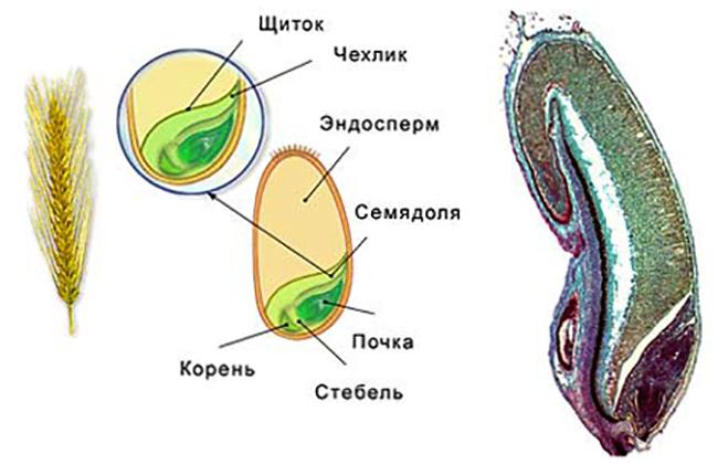 Эндосперм