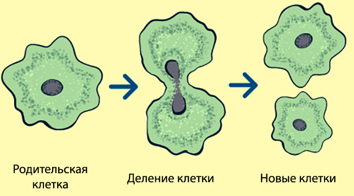 Новые клетки