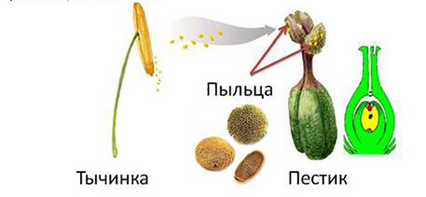 Пыльца, пестик и тычинка