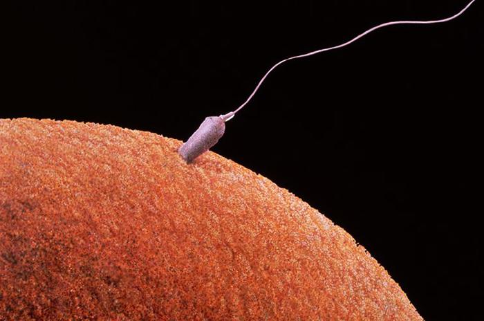 Яйцеклетка и сперматазоид