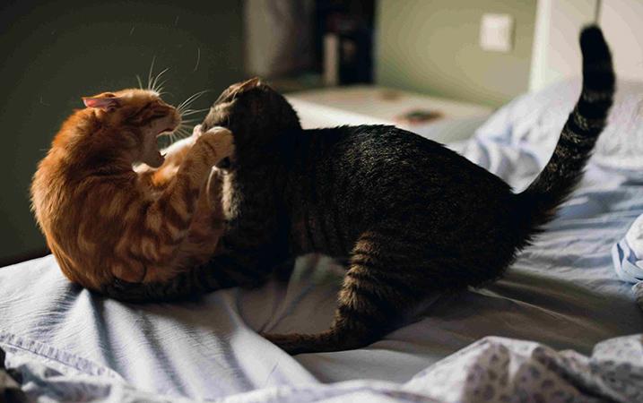 Игра двух кошек