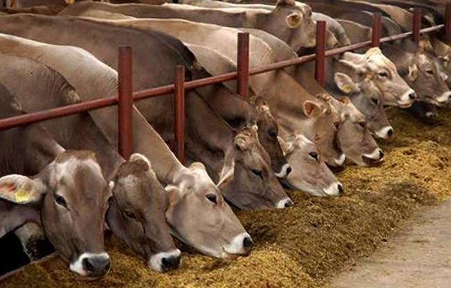 Швицкие коровы кушают