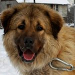 Кавказская овчарка — плюсы и минусы породы