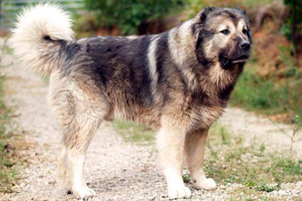 Овчарка кавказская