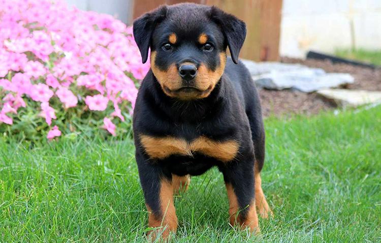 Красивый щенок ротвейлера