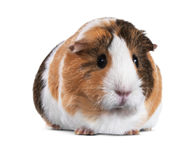Стоит ли заводить морскую свинку в квартире?