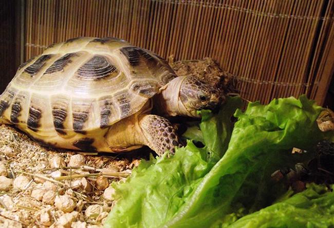 Сухопутная черепаха ползет
