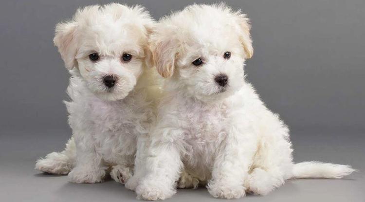 2 щенка Бишон фризе