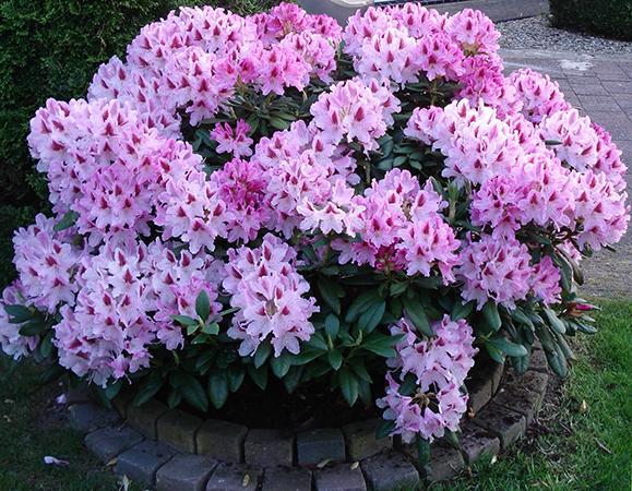 Красивая Азалия в саду