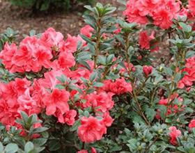 Азалии в саду: стоит ли связываться и выращивать