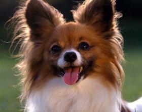 Порода собак фален, ее основные плюсы и минусы