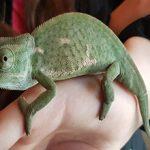Содержание хамелеона в домашних условиях: плюсы и минусы