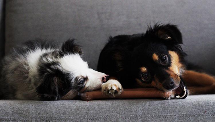 Два пса на диване