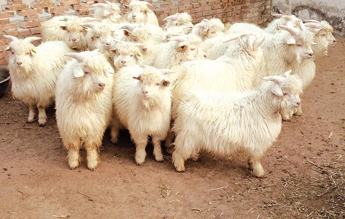 Овцы для кашемира