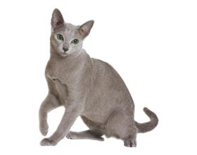 Стоит ли заводить русскую голубую кошку — плюсы и минусы породы