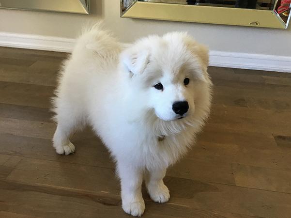 Самоедская собака дома