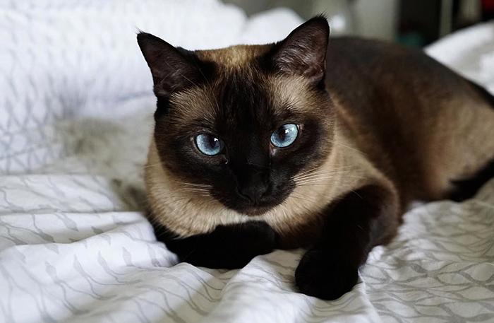 Сиамский кот сидит