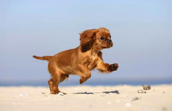 Кавалер кинг-чарльз-спаниель бежит по пляжу