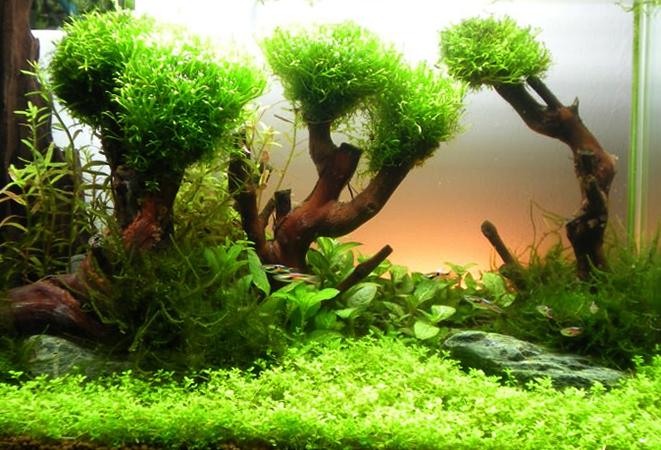 Какие аквариумные растения можно выращивать на коряге?