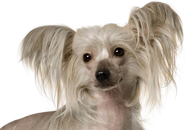 Красивая китайская хохлатая собака