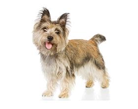Керн-терьер — плюсы и минусы породы собак