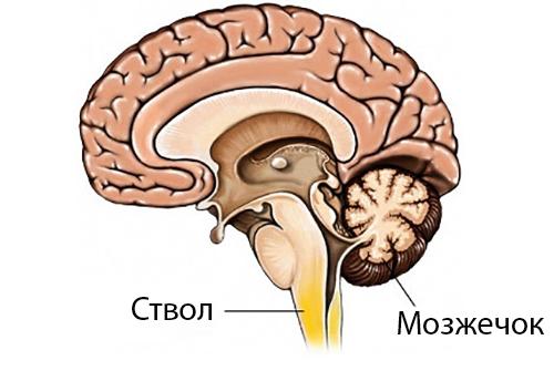 Ствол и мозжечок