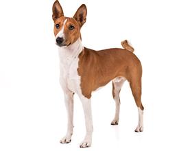 Порода собак Басенджи: плюсы и минусы