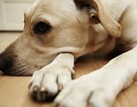 Пироплазмоз у собак: причины и возможные последствия