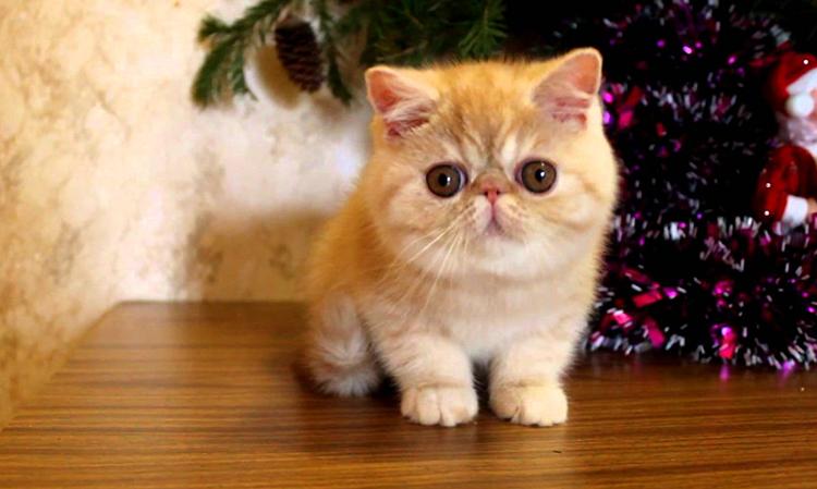 Милый котенок Экзот