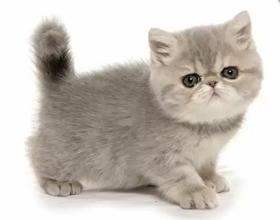Кошка породы Экзот: плюсы и недостатки