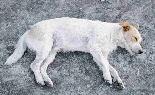 Собака после вывиха тазобедренного сустава