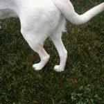 Вывих тазобедренного сустава у собаки и его последствия