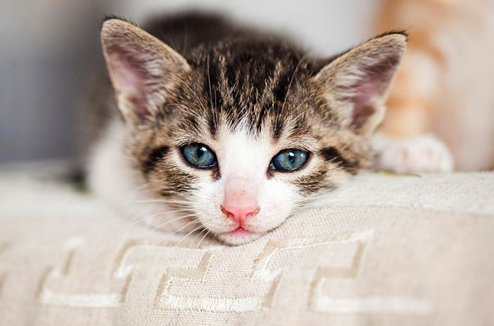 Болезненный котенок