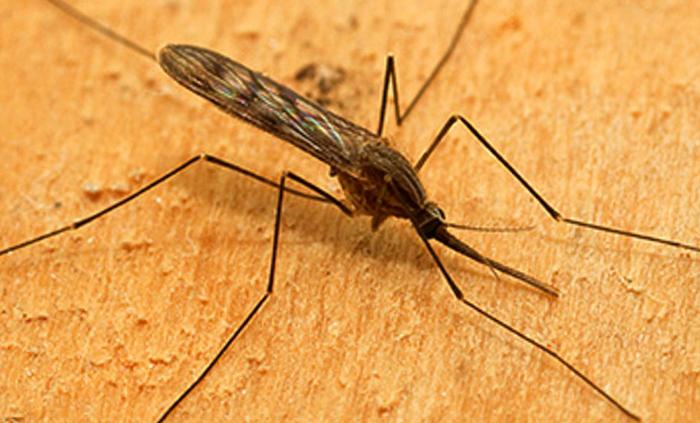 Комар-анофелес