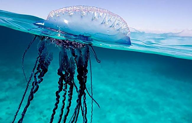 Медуза плавает