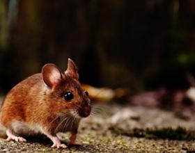 Последствия мышиной лихорадки для здоровья
