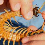 Укус сколопендры и его возможные последствия