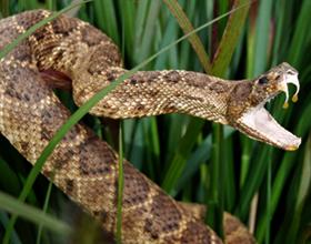 Возможные последствия укуса гремучей змеи
