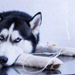 Возможные последствия химиотерапии для собак