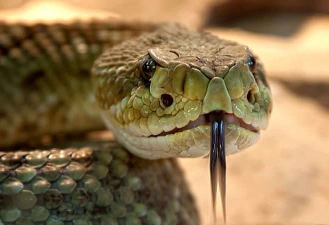 Злая гремучая змея